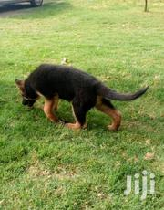 Baby Female Purebred German Shepherd Dog | Dogs & Puppies for sale in Central Region, Kampala