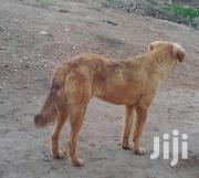 Young Male Mixed Breed Mongrel (No Breed) | Dogs & Puppies for sale in Western Region, Mbarara
