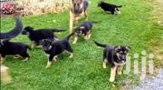 Baby Male Purebred German Shepherd Dog   Dogs & Puppies for sale in Central Region, Kampala