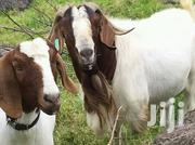 Good Quality Goats For Meat | Other Animals for sale in Central Region, Kampala
