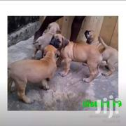 S. A Boerboel Puppies | Dogs & Puppies for sale in Central Region, Kampala