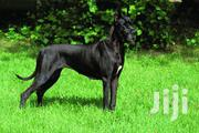 Baby Male Purebred Great Dane | Dogs & Puppies for sale in Central Region, Luweero