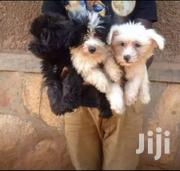 Maltese | Dogs & Puppies for sale in Central Region, Kampala