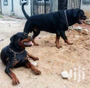 Adult Female Purebred Rottweiler | Dogs & Puppies for sale in Central Region, Kampala