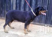 Adult Male Purebred Rottweiler | Dogs & Puppies for sale in Central Region, Kampala