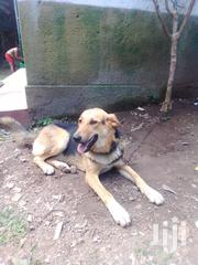 Senior Male Mixed Breed German Shepherd Dog | Dogs & Puppies for sale in Central Region, Kampala