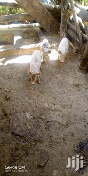 Piglets For Sale | Other Animals for sale in Central Region, Wakiso