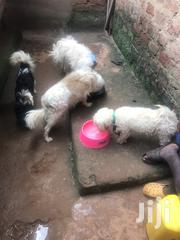 Young Male Purebred Japanese Spitz | Dogs & Puppies for sale in Central Region, Kampala