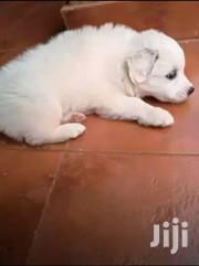 Japanese Spitz Pups | Dogs & Puppies for sale in Central Region, Kampala