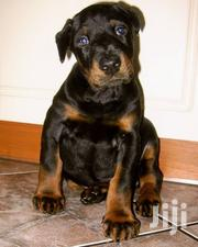 Baby Female Purebred Doberman Pinscher | Dogs & Puppies for sale in Central Region, Kampala