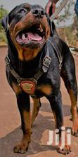 Pedigree Male Rottweilers | Dogs & Puppies for sale in Kampala, Central Region, Nigeria