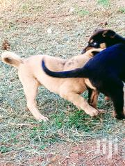 Young Male Mixed Breed Rottweiler | Dogs & Puppies for sale in Central Region, Kampala
