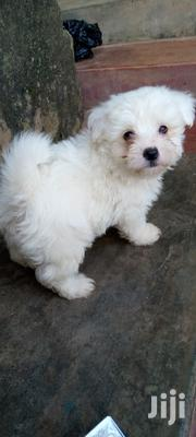 Baby Male Purebred Maltese | Dogs & Puppies for sale in Central Region, Kampala