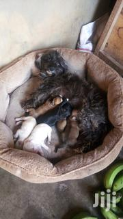 Baby Male Mixed Breed Poodle | Dogs & Puppies for sale in Central Region, Kampala