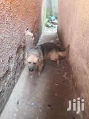 Adult Male Purebred German Shepherd Dog   Dogs & Puppies for sale in Central Region, Kampala