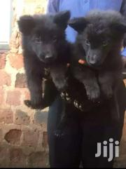 Solid Black German Shepherd Puppies | Dogs & Puppies for sale in Central Region, Kampala