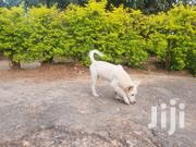 Senior Male Purebred Japanese Spitz | Dogs & Puppies for sale in Central Region, Kampala