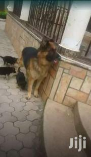 Pedigree German Shepherd Puppies | Dogs & Puppies for sale in Central Region, Kampala