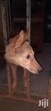 Young Male Mixed Breed German Shepherd Dog | Dogs & Puppies for sale in Central Region, Mukono