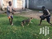 Senior Male Mixed Breed German Shepherd Dog | Dogs & Puppies for sale in Central Region, Wakiso