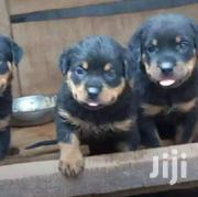 Baby Male Purebred Rottweiler | Dogs & Puppies for sale in Central Region, Kampala