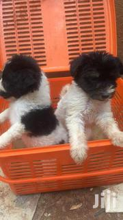 Young Male Purebred Maltese | Dogs & Puppies for sale in Central Region, Kampala