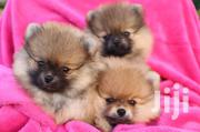 Young Female Purebred Pomeranian | Dogs & Puppies for sale in Central Region, Masaka