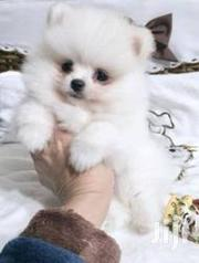 Young Female Purebred Pomeranian | Dogs & Puppies for sale in Central Region, Nakasongola