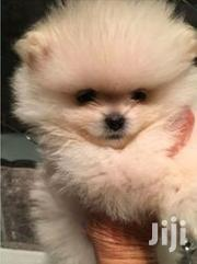 Young Female Purebred Pomeranian | Dogs & Puppies for sale in Central Region, Sembabule