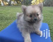 Young Female Purebred Pomeranian | Dogs & Puppies for sale in Central Region, Wakiso