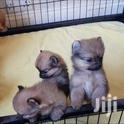 Young Female Purebred Pomeranian   Dogs & Puppies for sale in Eastern Region, Kaberamaindo