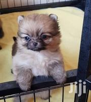 Young Female Purebred Pomeranian   Dogs & Puppies for sale in Eastern Region, Kamuli