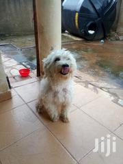 Adult Female Purebred Maltese | Dogs & Puppies for sale in Central Region, Kampala