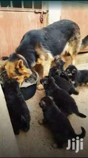 Shepherd Quality Canines | Dogs & Puppies for sale in Central Region, Kampala