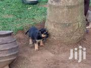 Big Belgium Sheperd Puppies | Dogs & Puppies for sale in Central Region, Kampala