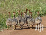 Health Ostrich Chicks For Sale | Livestock & Poultry for sale in Central Region, Kalangala