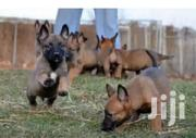 Belgian Malinois | Dogs & Puppies for sale in Central Region, Kampala