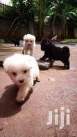 Puppies | Dogs & Puppies for sale in Kampala, Central Region, Nigeria