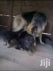 G Shepherd Puppies | Dogs & Puppies for sale in Central Region, Kampala