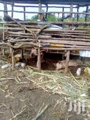Pigs And Piglets On Sale | Livestock & Poultry for sale in Western Region, Mbarara