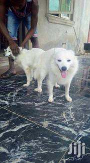 Adult Female Purebred Japanese Spitz | Dogs & Puppies for sale in Central Region, Kampala