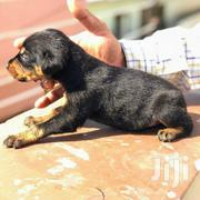 Baby Male Purebred Doberman Pinscher | Dogs & Puppies for sale in Central Region, Kampala