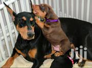 Adult Female Purebred Doberman Pinscher | Dogs & Puppies for sale in Central Region, Kampala