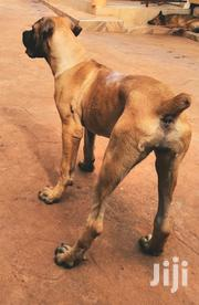 Young Female Purebred Boerboel | Dogs & Puppies for sale in Central Region, Wakiso
