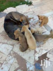 Mixed Breed | Dogs & Puppies for sale in Central Region, Kampala