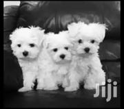 Maltese,  Snow White Fluffy | Dogs & Puppies for sale in Central Region, Kampala