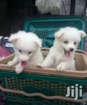 Samoyed Pet Puppies | Dogs & Puppies for sale in Central Region, Kampala