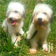Young Female Purebred Maltese | Dogs & Puppies for sale in Central Region, Wakiso