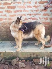 Adult Female Purebred German Shepherd Dog   Dogs & Puppies for sale in Nothern Region, Gulu