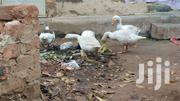 Mature Healthy Geese | Birds for sale in Central Region, Kampala